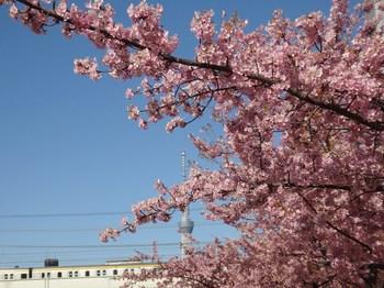 河津桜とスカイツリー.JPG