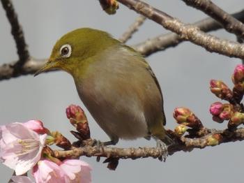 河津桜とメジロ.JPG